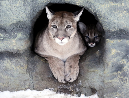 Ice, a three-year-old female North American cougar, and its two-month-old cub look out of their den at the Royev Ruchey zoo in a suburb of the Siberian city of Krasnoyarsk
