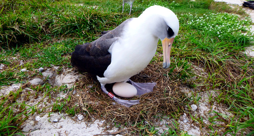 Wisdom a Laysan albatross incubates her egg in Midway Atoll National Wildlife Refuge and Battle of Midway National Memorial