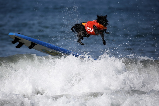 A dog wipes out during the Surf City Surf Dog Contest in Huntington Beach