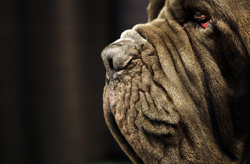 Neopolitan Mastiff at 132nd Westminster Kennel Club Dog Show at Madison Square Garden in New York