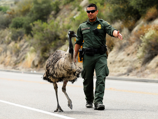 U.S. Customs and Border Patrol officer Constantino Zarate tries to herd an Emu off the highway near wildfire