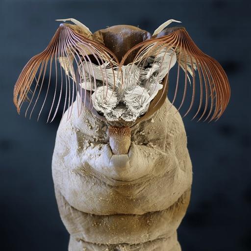 Black fly larva, SEM
