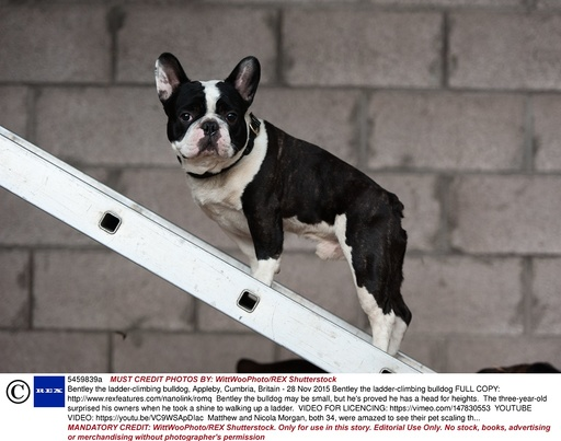 Bentley the ladder-climbing bulldog, Appleby, Cumbria, Britain - 28 Nov 2015