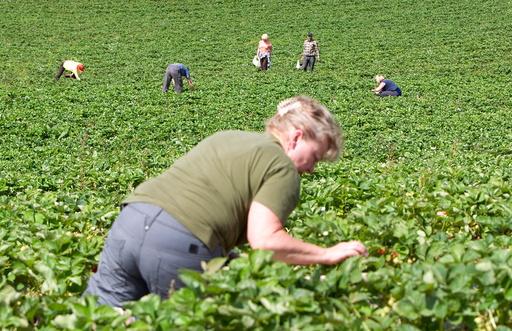 Jordbærplukkere fra Polen ved Egge Gård i Lier. På bildet jordbær og jordbærplanter. Illustrasjonsfoto: Gorm Kallestad / Scanpix