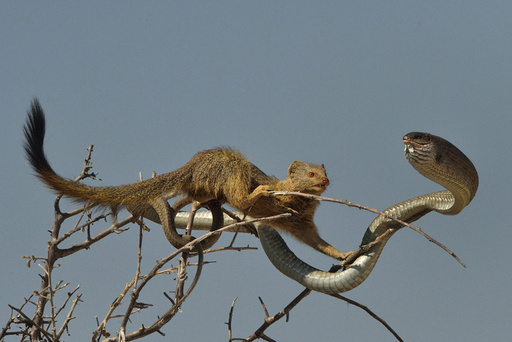 Slender mongoose (Galerella sanguinea) approaching Boomslang snake (Dispholidus typus) in tree, Etosha National Park, Namibia, July.