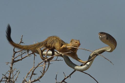 Slender mongoose (Galerella sanguinea) approaching Boomslang snake (Dispholidus typus) in tree, Etosha National Park, Namibia, July.