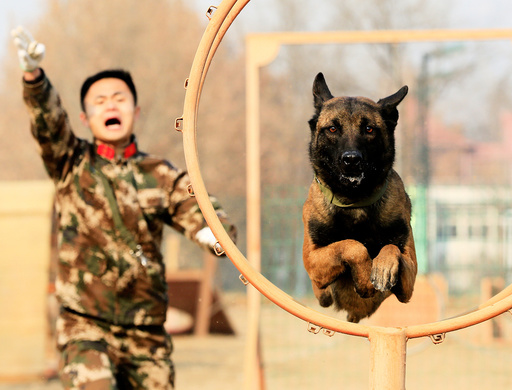 Sniffer dog jumps through a ring during an obstacle training session with its trainer at a training facility in Shijiazhuang