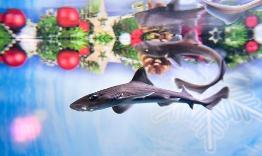 Tope babies at festive Sea Life