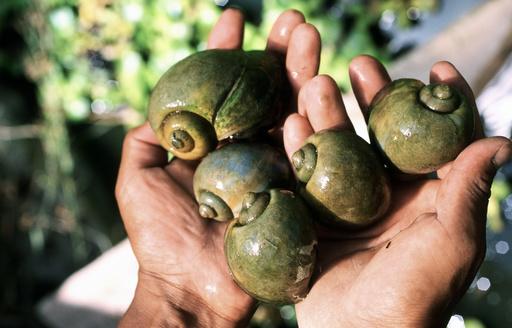 Apple snails