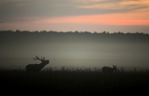Male deer roars in a field during the dawn near the village of Dobrovolya