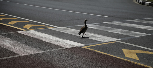 An Egyptian Goose uses a pedestrian crossing through a busy traffic junction in central Cape Town