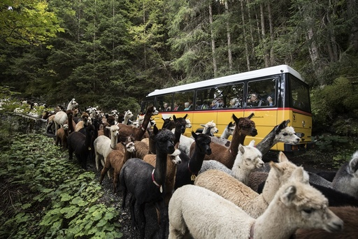 Coming back of lamas and alpacas from the alpine pastures in Switzerland