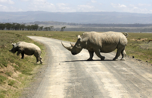 A white rhino and its baby cross a road on the drying shores of Lake Nakuru in Kenya's Rift Valley