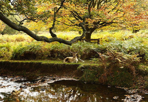 A deer rests by a river in Bradgate Park in Newtown Linford