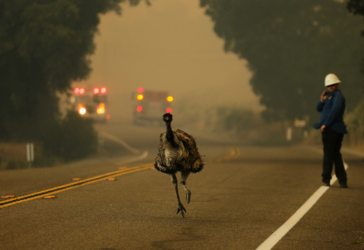 An emu runs to escape an approaching wildfire as it burns near Potrero, California