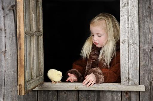 Lita jente med gul kylling i vindu på gammel bygning. Unge syntes det er spennende med nyklekket liten fugl. Mange er redd for fugleinfluensa. God kontakt og konsentrasjon. Påske.