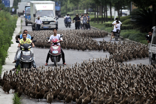 Farmers herd a flock of ducks along a street towards a pond as residents drive next to them in Taizhou