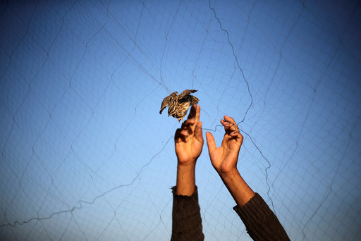 A man takes out a quail from a net after catching it on a beach in Khan Younis, in the southern Gaza Strip