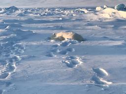 En isbjørn ble skutt og drept i Mohnbukta på østkysten av Spitsbergen mandag. Foto: Sysselmannen på Svalbard / NTB