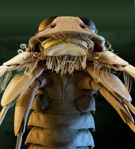 Mayfly nymph head, SEM