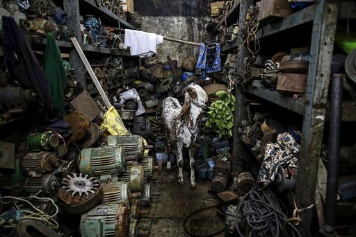 A goat eats leaves inside a motor pump workshop in Mumbai