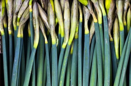 Påskeliljer. Blomster, påske, gul, lilje