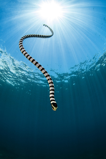 Yellow lipped sea snake (Laticauda colubrina) dives back down to the reef after surfacing for breath of air. Apo Island, Dumaguete, Negros, Philippines. Bohol Sea, Tropical West Pacific Ocean.