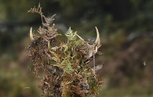 A stag deer covers his antlers with bracken in Richmond Park in west London