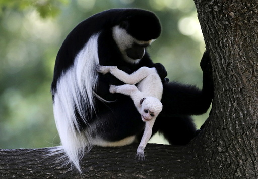 A guereza monkey (Colobus Guereza) holds a newborn baby at Prague Zoo