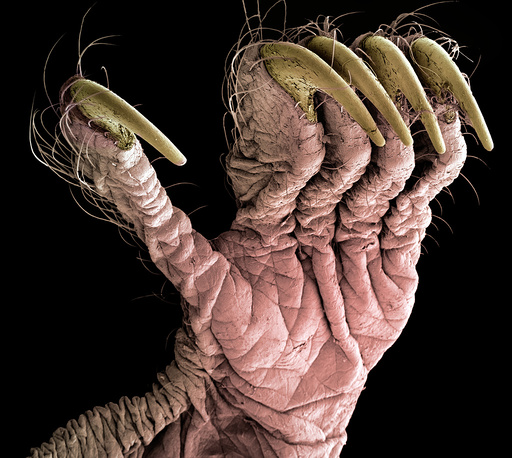 Hind limb of a pipistrelle bat