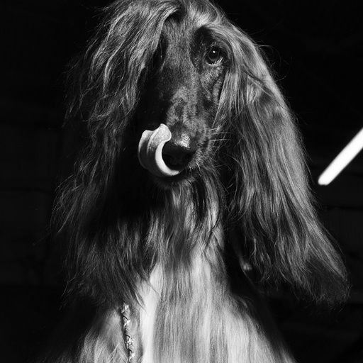 Elay, an Afghan hound, at the Westminster Kennel Club Dog Show in New York.