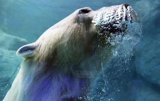 A polar bear, which arrived from Russia last December, is pictured at Sao Paulo Aquarium