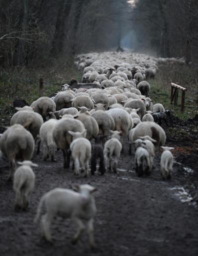 Sheep in Freiburg