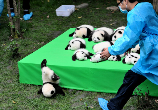 A giant panda cub falls from the stage while 23 giant pandas born in 2016 are seen on a display at the Chengdu Research Base of Giant Panda Breeding in Chengdu