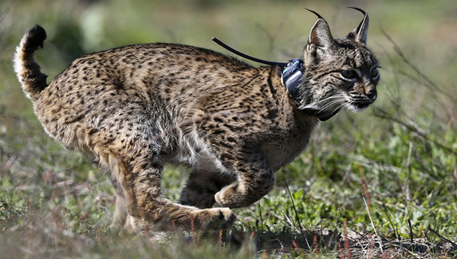An Iberian lynx, a feline in danger of extinction, runs after being released in Donana National Park, southern Spain