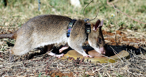 A giant African pouched rat identifies a landmine during training in sniffing and detecting landmines at the Sokoine University landmine fields in Morogoro