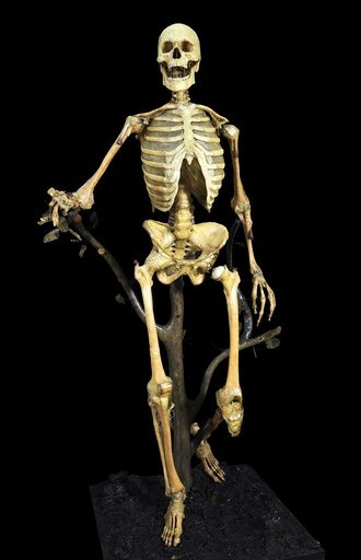 Anatomical skeleton model, 18th century