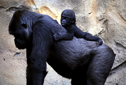 A Western Lowland Gorilla baby named 'Mjukuu', that was born in October last year, rides on the back of it's Mother 'Mbeli' in their enclosure at Taronga Zoo in Sydney