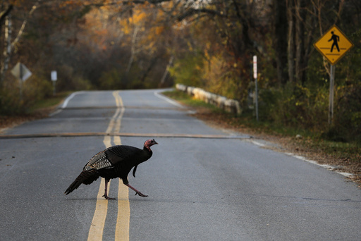 A wild turkey crosses the road in the Parker National Wildlife Refuge on Plum Island in Newbury, Massachusetts