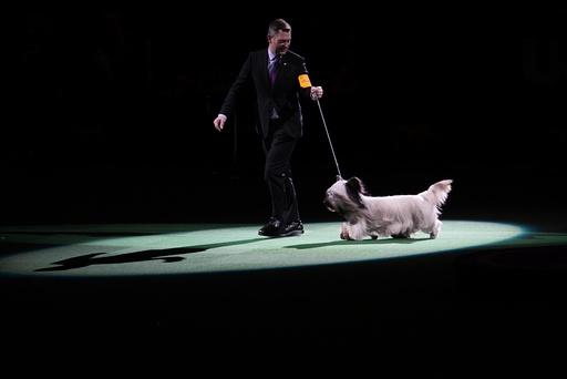 Westminster dog show runner up