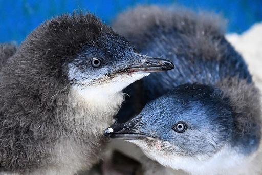 Penguin chicks at Melbourne Zoo