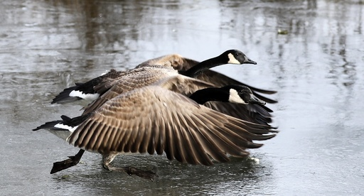 Canada goose on frozen lake in Mannheim