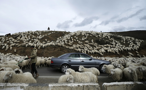 A car is surrounded by sheep as they return home from grazing fields outside Tbilisi