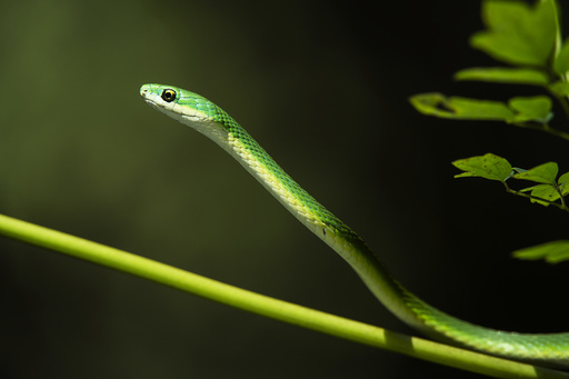 Rough green snake (Opheodrys aestivus) Northern Georgia, USA, July. Captive, occurs in North America.