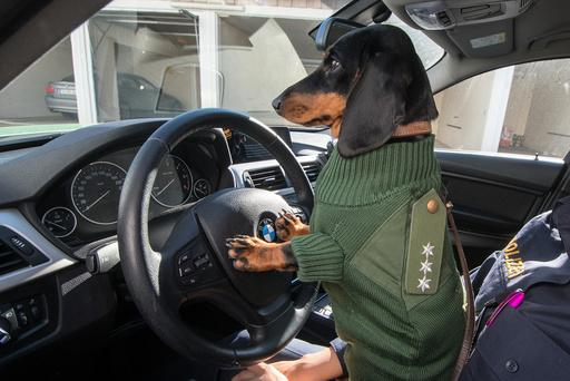 Dachshund Olga wears police uniform