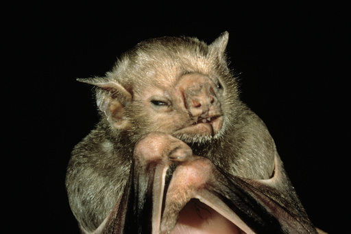 Vampire Bat face