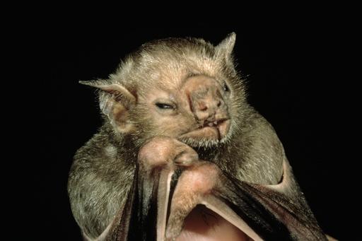 Vampire Bat face