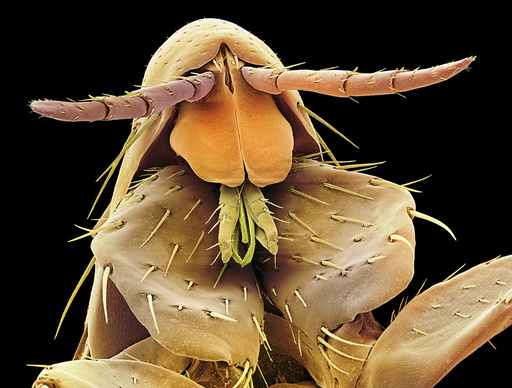 Human flea, SEM