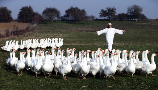 Breeder Marth rounds up a gaggle of geese in a pasture in Strem in Austria's Burgenland province