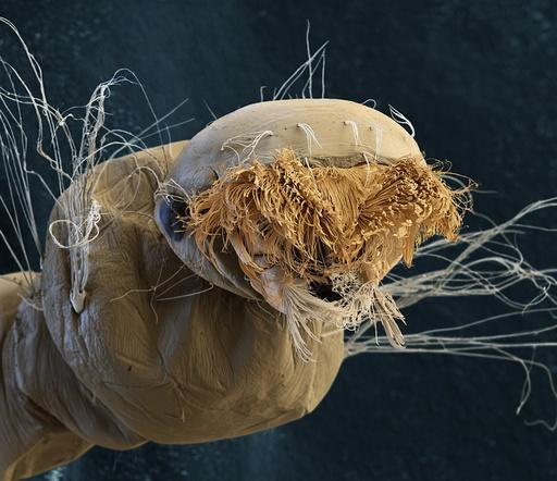 Common house mosquito larva, SEM